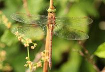 Keilfleck-Mosaikjungfer, Aeshna isoceles, erwachsenes Weibchen (3).