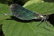 Blauflügel-Prachtlibelle, Calopteryx virgo, Männchen.
