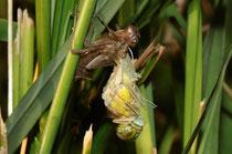 Gemeine Heidelibelle, Sympetrum vulgatum, Männchen während der Ruhephase der Emergenz.