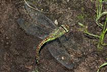 Eiablage der Südlichen Mosaikjungfer, Weibchen solo.