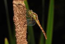 Große Heidelibelle, Sympetrum striolatum, heranreifendes Weibchen.