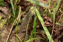 Körper und Flügel eines juvenilen Männchens trocknen während einer Ruhepause in der Vegetation.