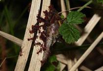 Gemeine Falkenlibelle (Cordulia aenea), als Opfer einer Ameisenattacke während des Schlüpfens.