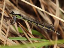 Gemeine Becherjungfer, Enallagma cyathigerum, Weibchen in der grünen Variante.