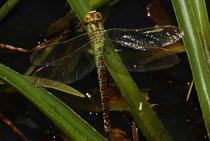 Grüne Mosaikjungfer, Aeshna viridis, erwachsenes Weibchen.