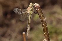 Früher Schilfjäger, Brachytron pratense, ganz junges Weibchen (2).