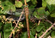 Keilfleck-Mosaikjungfer, Aeshna isoceles, erwachsenes Weibchen (1).