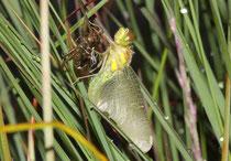 Schwarze Heidelibelle, Sympetrum danae, Weibchen beim Schlupf (1).