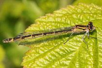 Gemeine Becherjungfer, Enallagma cyathigerum, Weibchen in der bräunlichen Variante.