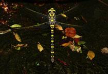 Zweigestreifte Quelljungfer, Ssp. Cordulegaster boltonii immaculifrons, Weibchen bei der Eiablage.