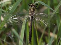 Ein junges Männchen der Gemeinen Falkenlibelle, Cordulia aenea.