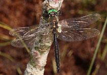 Alpen-Smaragdlibelle, Somatochlora alpestris, erwachsenes Männchen (1)