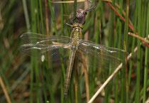 Glänzende Smaragdlibelle, Somatochlora metallica, Weibchen, frisch geschlüpft.