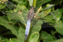 Großer Blaupfeil, Orthetrum cancellatum, junges Männchen.