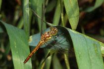 Gemeine Heidelibelle, Sympetrum vulgatum, reifendes Weibchen.