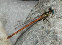 Rote Federlibelle, Platycnemis acutipennis, erwachsenes Männchen (3).