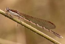 Gemeine Winterlibelle, Sympecma fusca, reifes Weibchen.