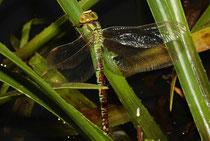 Grüne Mosaikjungfer (Aeshna virtidis), Eiablage an der Krebsschere.