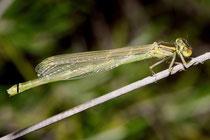 Pokal - Azurjungfer, Erythromma lindenii, frisch geschlüpftes Weibchen.