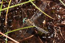 Ihre Anwesenheit verraten sie meist durch das Rascheln der Flügel im dichten Gras.