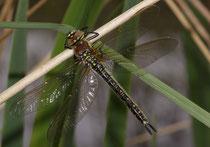Früher Schilfjäger, Brachytron pratense, junges Weibchen.