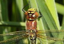 Weibchen des Frühen Schilfjägers, Brachytron pratense, im Close-up