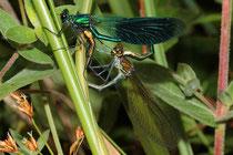 Gebänderte Prachtlibelle, Calopteryx splendens, Kopula (2).