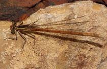 Rote Federlibelle, Platycnemis acutipennis, erwachsenes Weibchen (1).