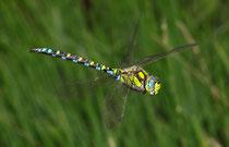 Blaugrüne Mosaikjungfer, Aeshna cyanea, Männchen im Vorbeiflug (1).