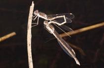 Gemeine Winterlibelle, Sympecma fusca, befüllen des sekundären Geschlechtsorgans des Männchens mit Spermien.