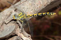 Große Zangenlibelle, Onychogomphus uncatus, erwachsenes Weibchen (3).