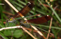 Bronzene Prachtlibelle, Calopteryx haemorrhoidalis,  zwei erwachsene Weibchen im besten Alter.