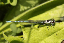 Hufeisen - Azurjungfer, Coenagrion puella, junges Männchen.