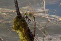 Solitäre Eiablage eines Weibchens der Kleinen Königslibelle (2).