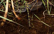 Zweigestreifte Quelljungfer, Cordulegaster boltonii, Weibchen bei der Eiablage (1).