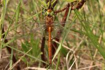 Keilfleck-Mosaikjungfer, Aeshna isoceles, erwachsenes Männchen (1).