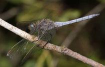 Kleiner Blaupfeil, Orthetrum coerulescens, erwachsenes Männchen.