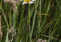 Arktische Smaragdlibelle, Somatochlora arctica. Pärchen im Gras (2).