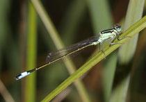 Großen Pechlibelle, Ischnura elegans, junges Männchen.