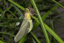 Große Heidelibelle, Sympetrum striolatum, ein Männchen beim Schlüpfen (1).