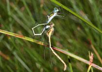 Gemeine Binsenjungfer, Lestes sponsa, füllen des sekundären Geschlechtsteils des Männchens mit Spermien.