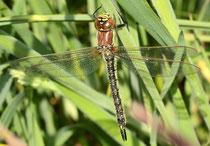 Früher Schilfjäger, Brachytron pratense, erwachsenes Weibchen.