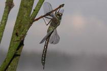 Ein frisch geschlüpftes Weibchen der Kleinen Königslibelle, Anax parthenope, vor dem Jungfernflug (1).