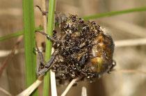Vierfleck (Libellula quadrimaculata), als Beute von Ameisen während der Imaginalhäutung.