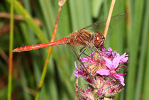 Gemeine Heidelibelle, Sympetrum vulgatum, erwachsenes Männchen (1).