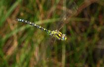 Blaugrüne Mosaikjungfer, Aeshna cyanea, Männchen im Vorbeiflug (2).