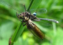 Eine Stilettfliege erbeutete ein Männchen der Blauen Federlibelle (Platycnemis pennipes) und saugt es mit ihrem Rüssel aus.