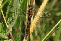 Ruhendes Weibchen von Somatochlora flavomaculata (3).