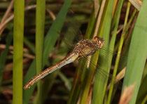 Südliche Heidelibelle, Sympetrum meridionale, Eiablage durch das Weibchen alleine (2).