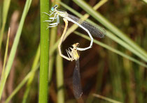 Weiße Federlibelle, Platycnemis latipes, Kopula.